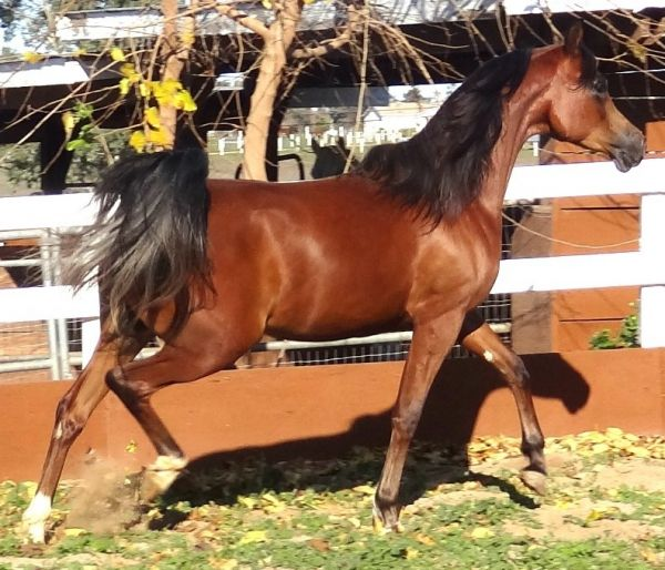Bay Arabian Horse for Sale in Michigan