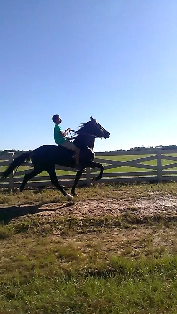 Black Single Footing Stallion for Sale in Louisiana