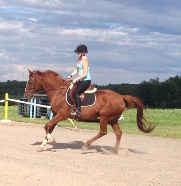 Chestnut Warmblood Horse for Sale in New York