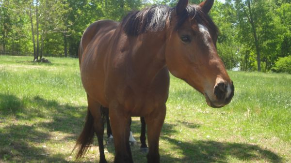 Bay Thoroughbred Horse for Sale in North Carolina