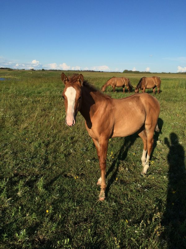 Red Dun Quarter Horse for Sale in Manitoba