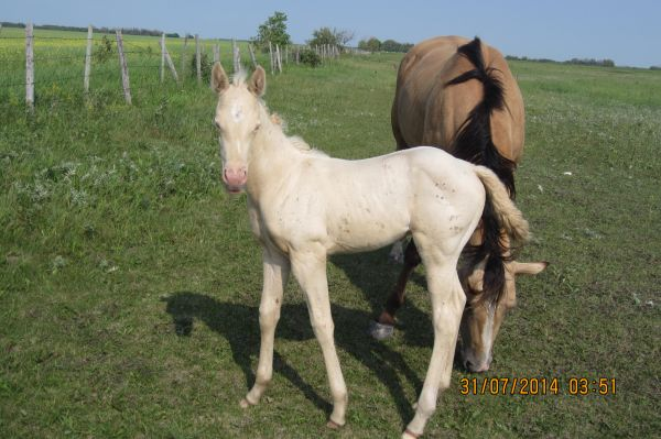 Perlino Quarter Horse for Sale in Manitoba