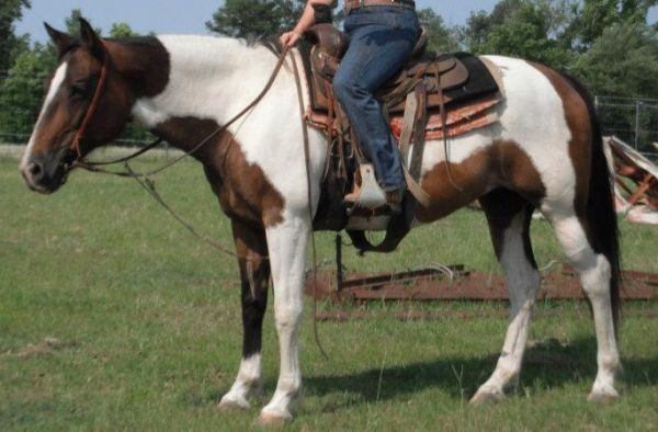 Chestnut Paint Horse for Sale in Alabama