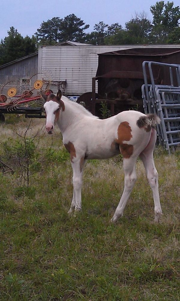 Bay Overo Paint Horse for Sale in Alabama