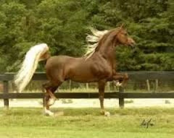 Liver Chestnut Saddlebred Stallion for Sale in Texas