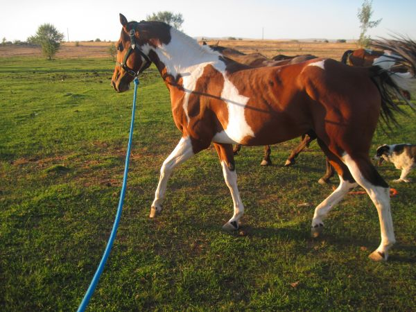 Tobiano Paint Stallion for Sale in Washington