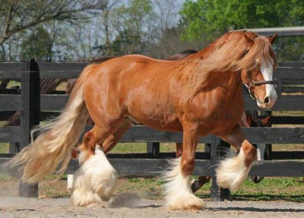 Chestnut Gypsy Vanner Horse for Sale in Illinois