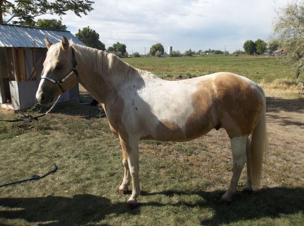 Palomino Paint Stallion for Sale in Washington