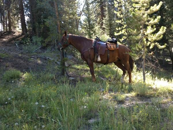 Sorrel Missouri Fox Trotter Horse for Sale in Wyoming
