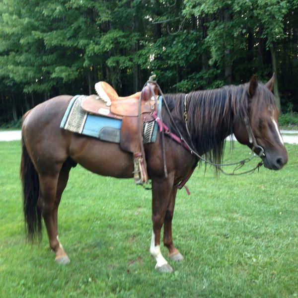 Chestnut Quarter Horse Stallion for Sale in Ohio