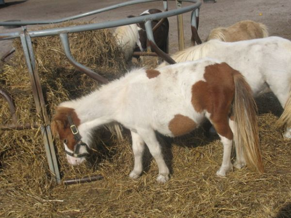 Pinto Miniature Horse for Sale in Virginia