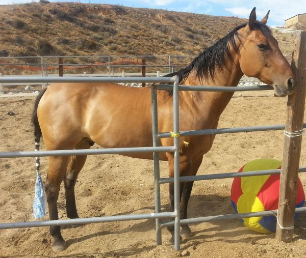 Dun w/ Blk Points Quarter Horse for Sale in California