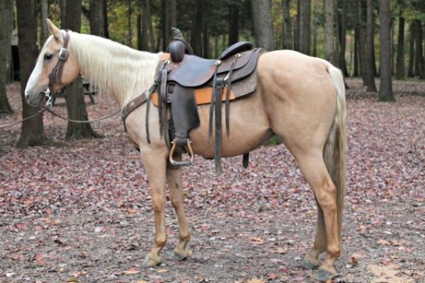 Palomino Quarter Horse for Sale in Pennsylvania