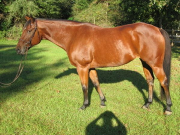 Bay Paint Horse for Sale in Florida