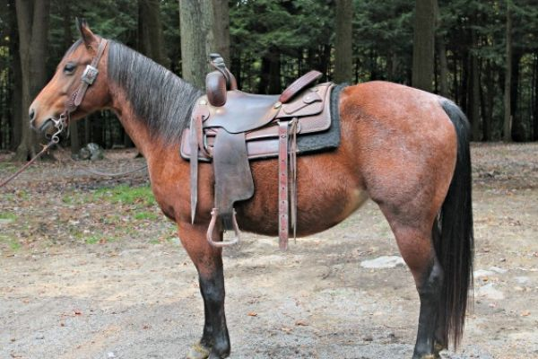 Bay Roan Quarter Horse for Sale in Pennsylvania