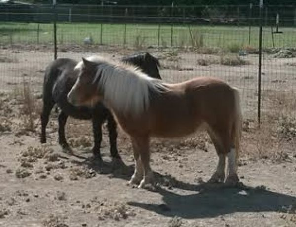 Sorrel Miniature Horse for Sale in California