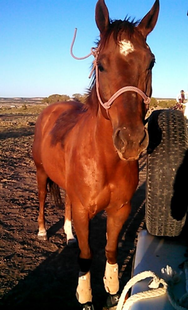 Sorrel Paint Horse for Sale in Arizona