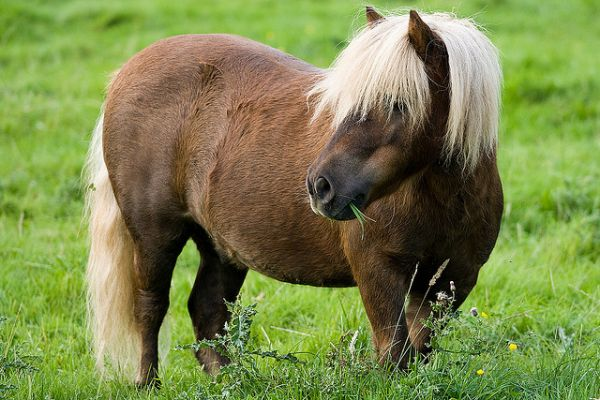 Other Shetland Pony Stallion for Sale in Vermont