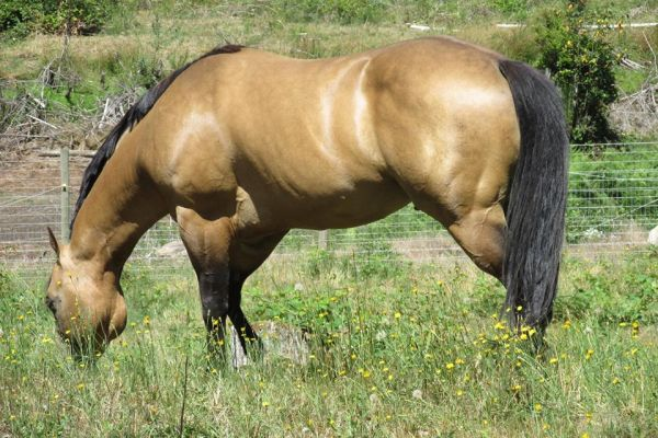 Buckskin Quarter Horse Stallion for Sale in Washington