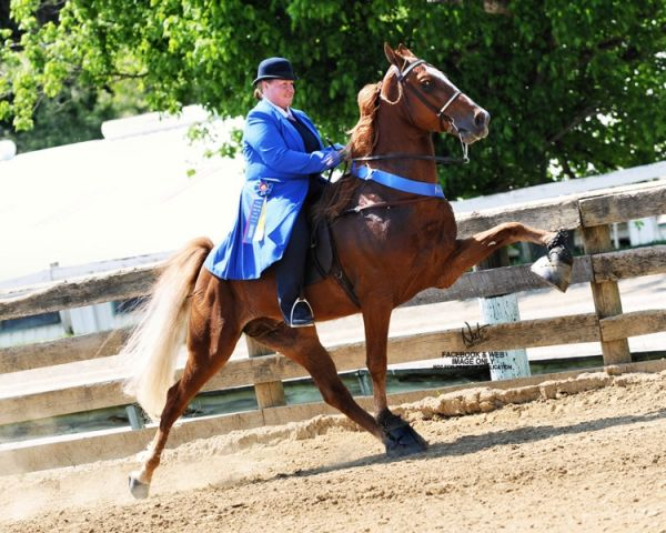 Sorrel Tennessee Walking Stallion for Sale in Pennsylvania