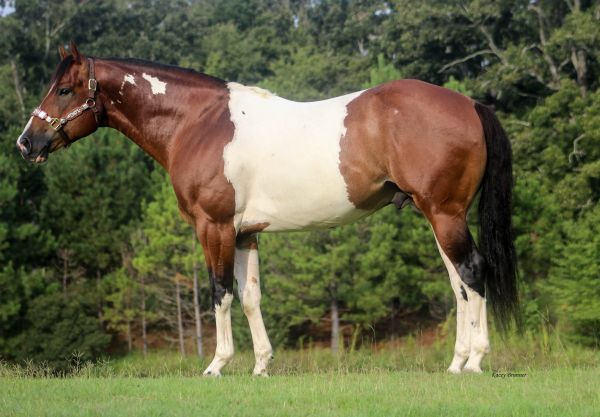 Bay Paint Stallion for Sale in Texas