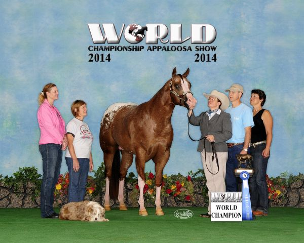 Chestnut Appaloosa Stallion for Sale in Kentucky
