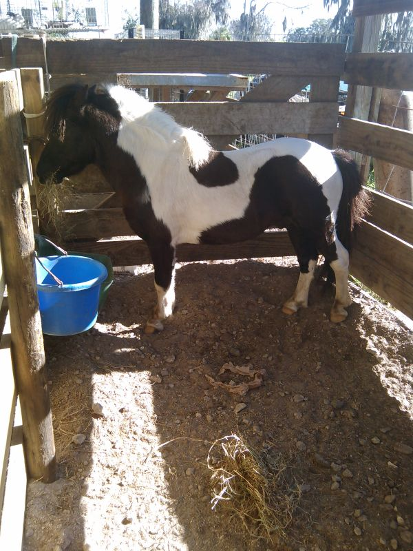 Pinto Miniature Stallion for Sale in Florida
