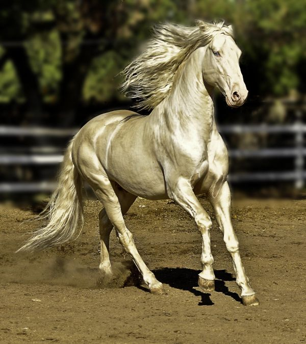 Cremello Lusitano Stallion for Sale in California