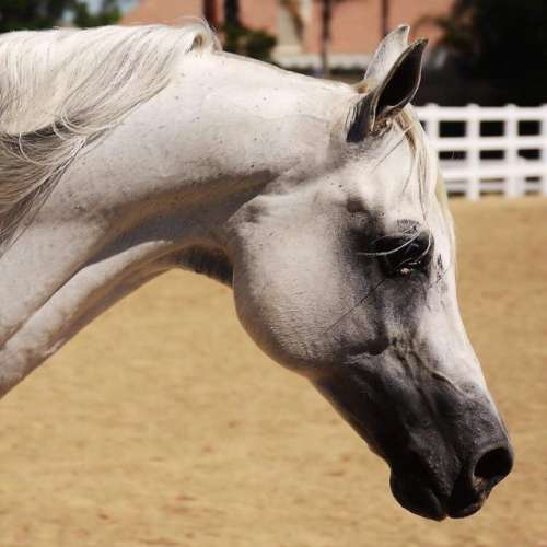 Grey Arabian Stallion for Sale in California