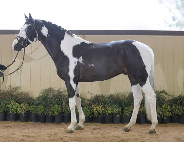 Tobiano Oldenburg Stallion for Sale in Colorado