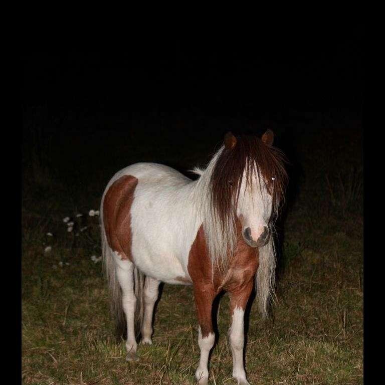 Lil Achers miniature horses