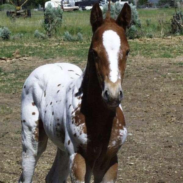 MT Appaloosas and Quarter horses