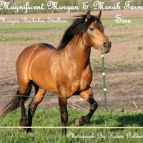 Magnificent Morgan and Morab Farm