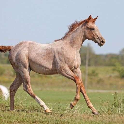 Rock Solid Quarter Horses