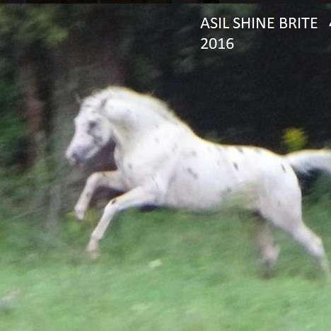 ASIL ARABIANS & Oasis Therapeutic Riding