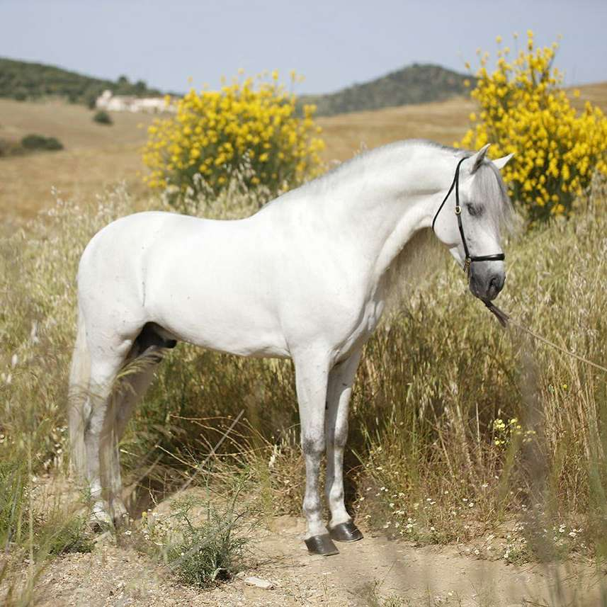 Ranch O Grove Andalusians