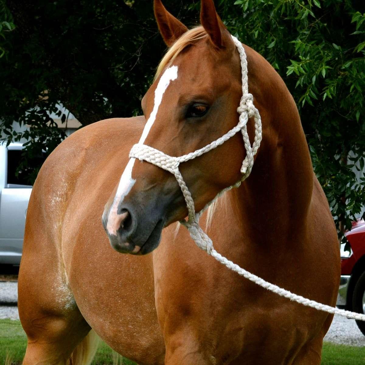 McDaniel Quarter Horses