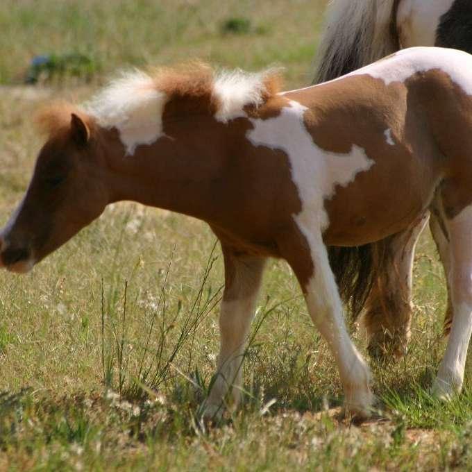 Morning Star Miniature Horses