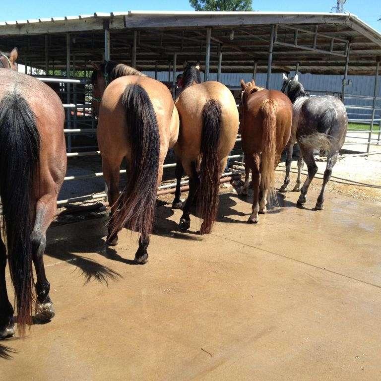 C-5 Quarter Horses