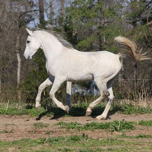 Van Alma Arabians