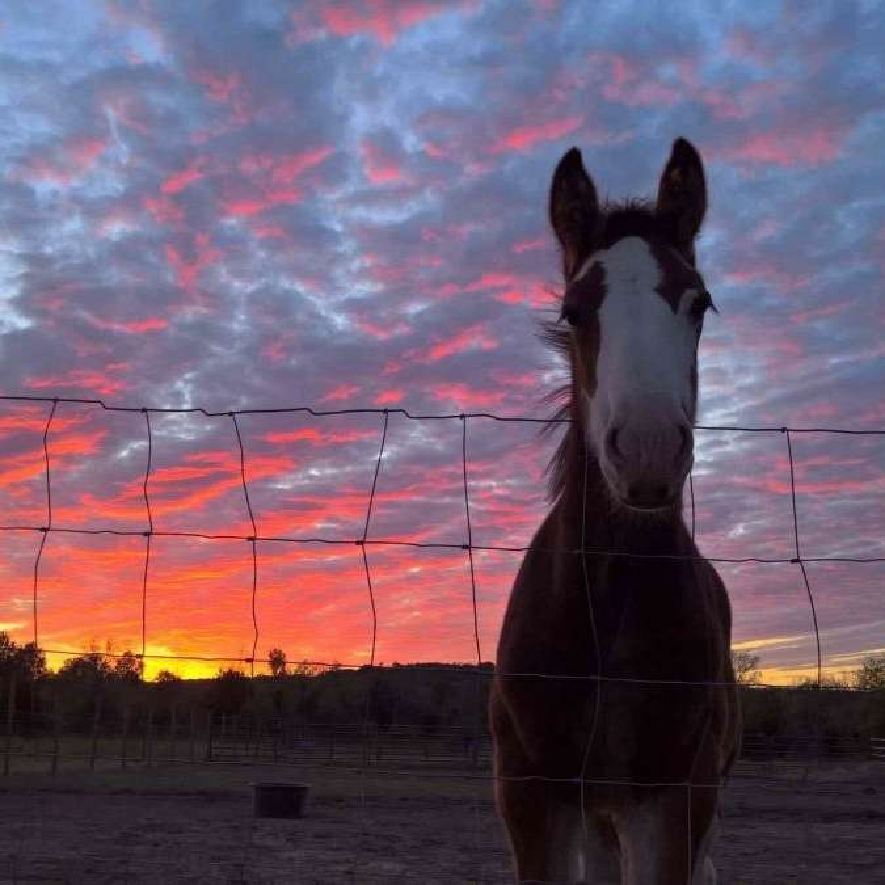 Kunoa Ranch Drum Horses