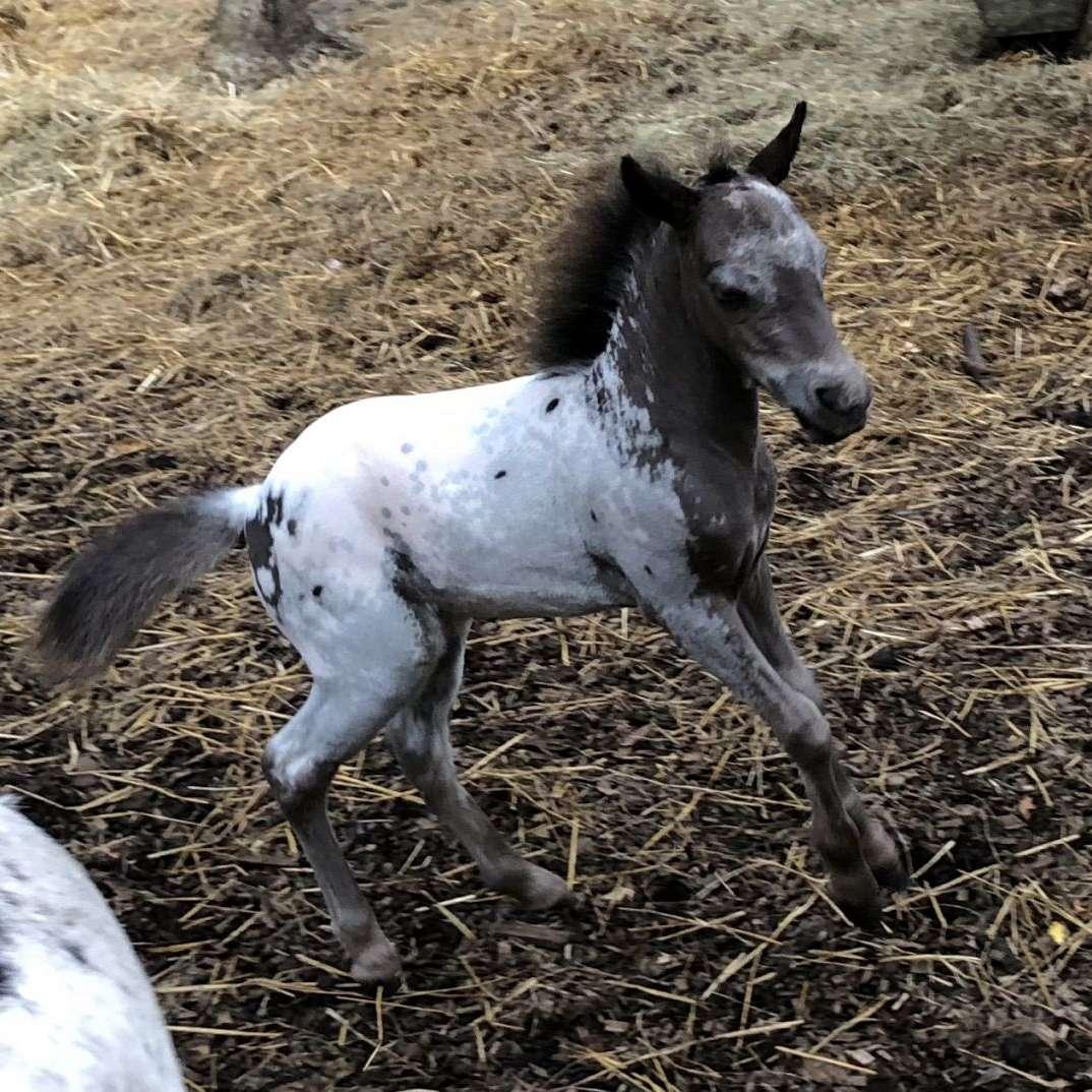 MR Falabella Miniature Horses