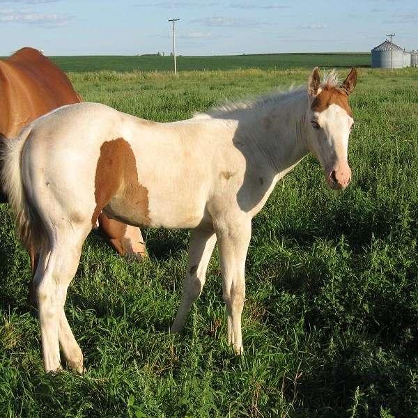 Medicine Hat Horses