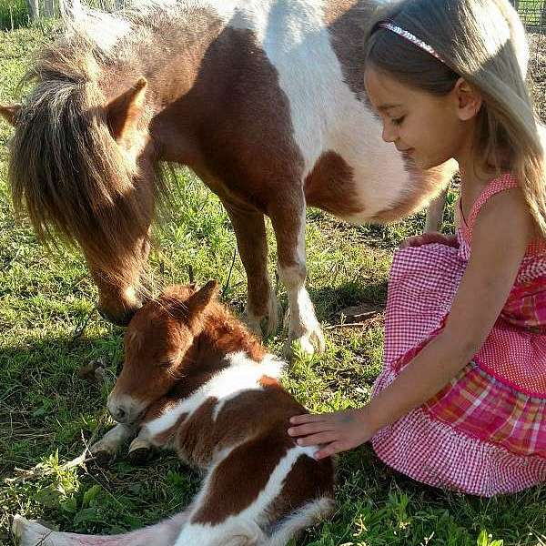 Miniature Therapy Horses