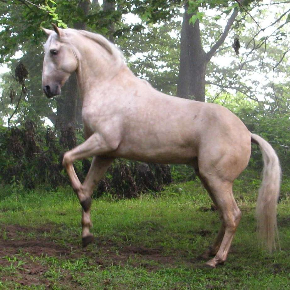 A Little Magic Lusitanos