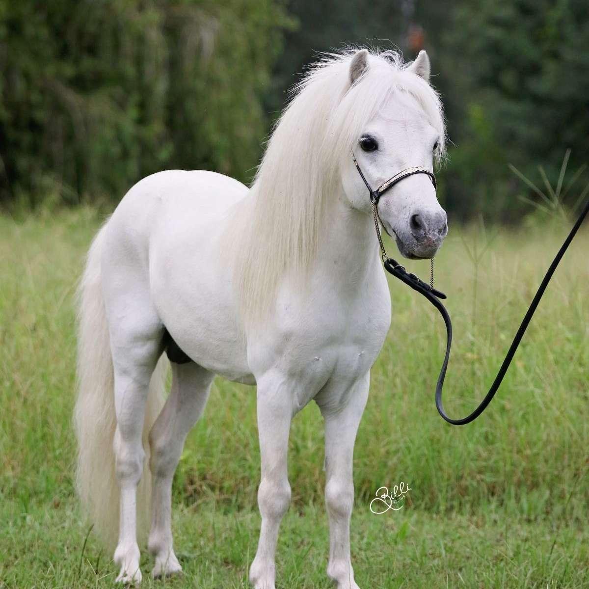 Arabiana Miniature Horses