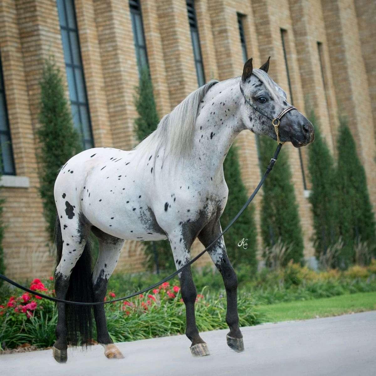 Elite Miniature horses