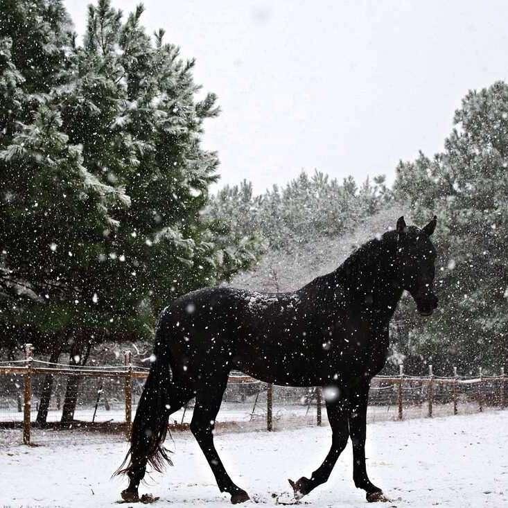 Midnite Farm - Quality Arabians and Stock Horses
