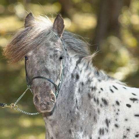 Spotted Dreams Miniature Horse Farm