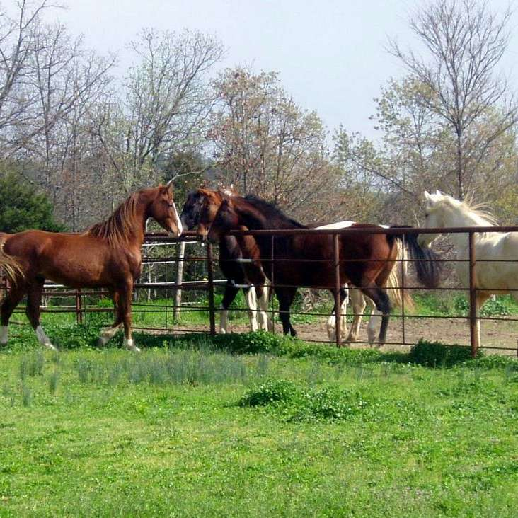 Shoal Creek Ranch Saddlebreds and Trailer Sales